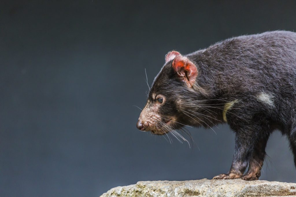 Tasmanian devils are important predators that keep invasive species like feral cats and foxes in check. Photo by Mariusz Prusaczyk/via Adobe