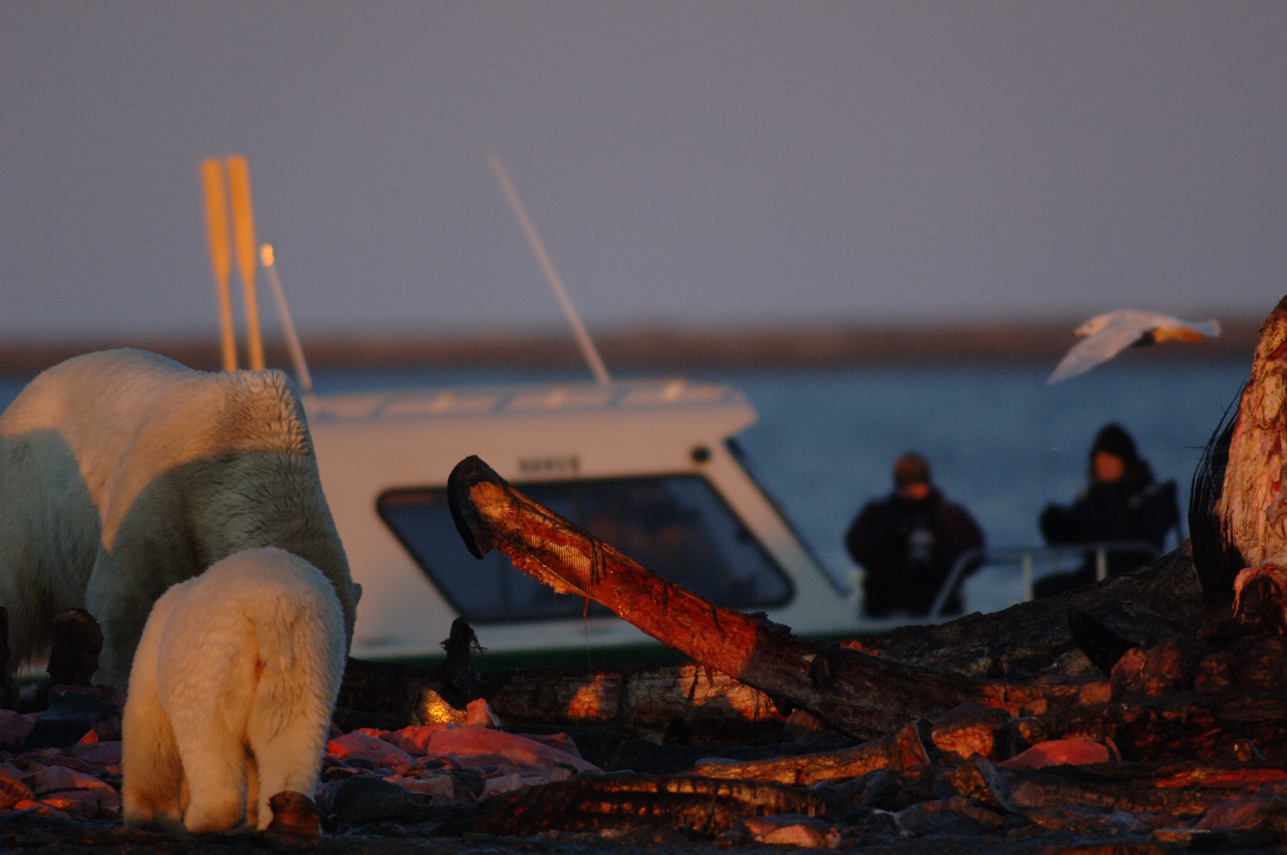Polar bears feed off a bone pile in the U.S. Arctic with tourists in the background. Photo courtesy of the U.S. Fish and Wildlife Service.