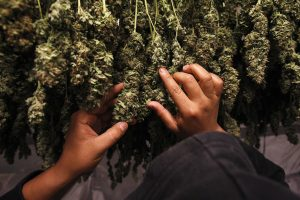 Medical marijuana plants are pictured as they dry in the Los Angeles area Photo by June 1, 2010. Photo by REUTERS/Mario Anzuoni