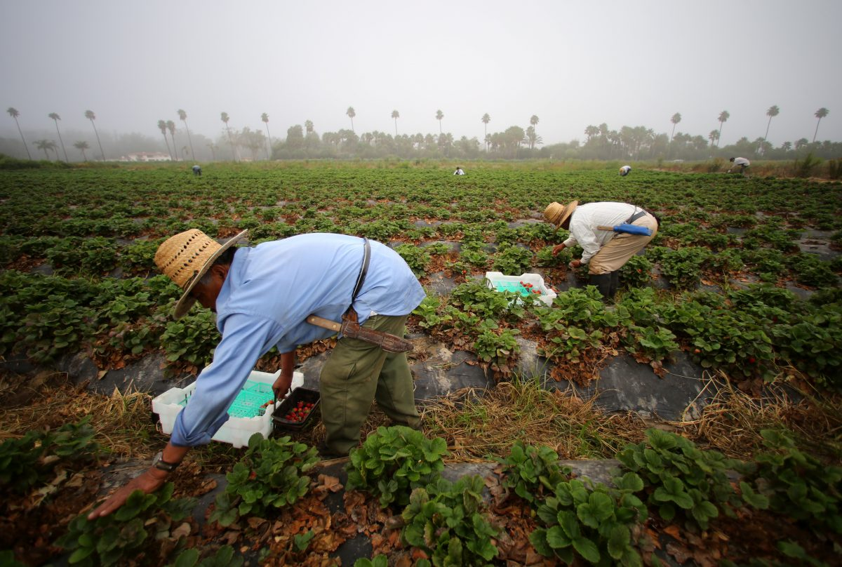 Farm workers pick strawberries in the early morning fog on a farm in Rancho Santa Fe, California, United States August 31, 2016.     REUTERS/Mike Blake  - RTX2NQK7