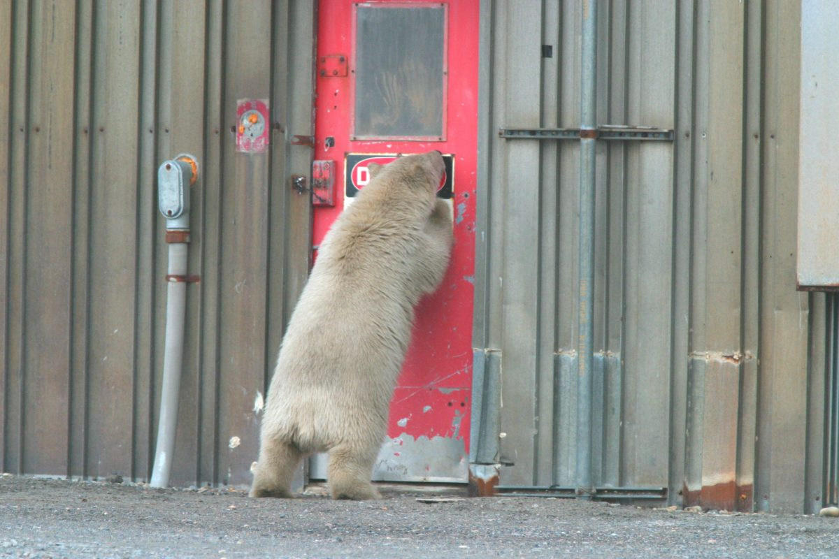 A young polar bear tries to get into a building in the U.S. Arctic. Photo courtesy of U.S. Fish and Wildlife Service