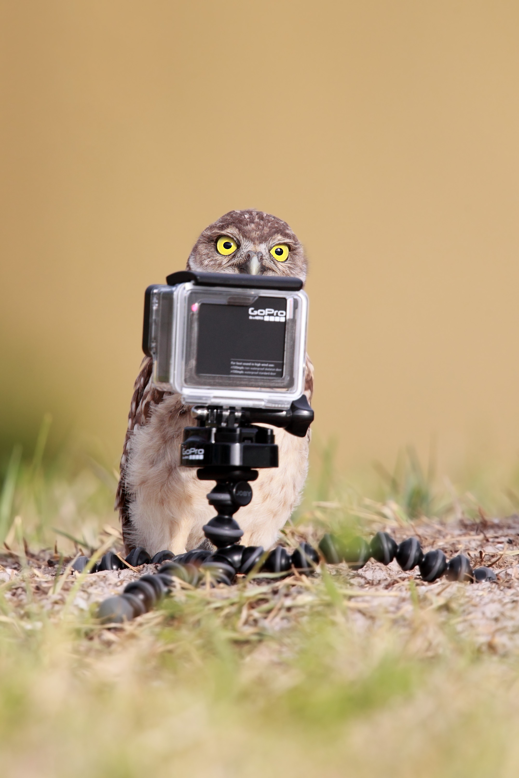 A burrowing owlet readies for a selfie in Cape Coral, Florida. Photo by Megan Lorenz/The Comedy Wildlife Photography Awards.