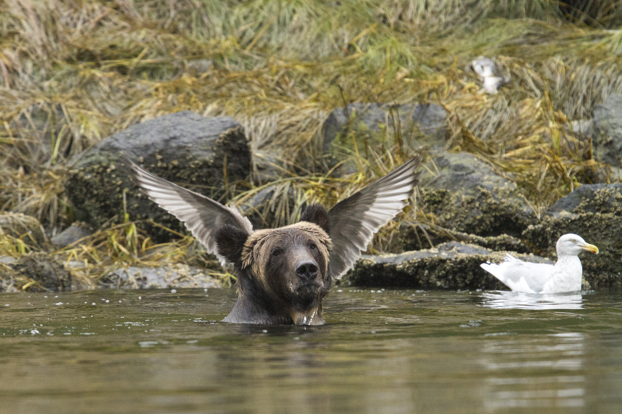 A bear poses in the Great Bear Rainforest, Canada. Photo by Adam Parsons/The Comedy Wildlife Photography Awards.