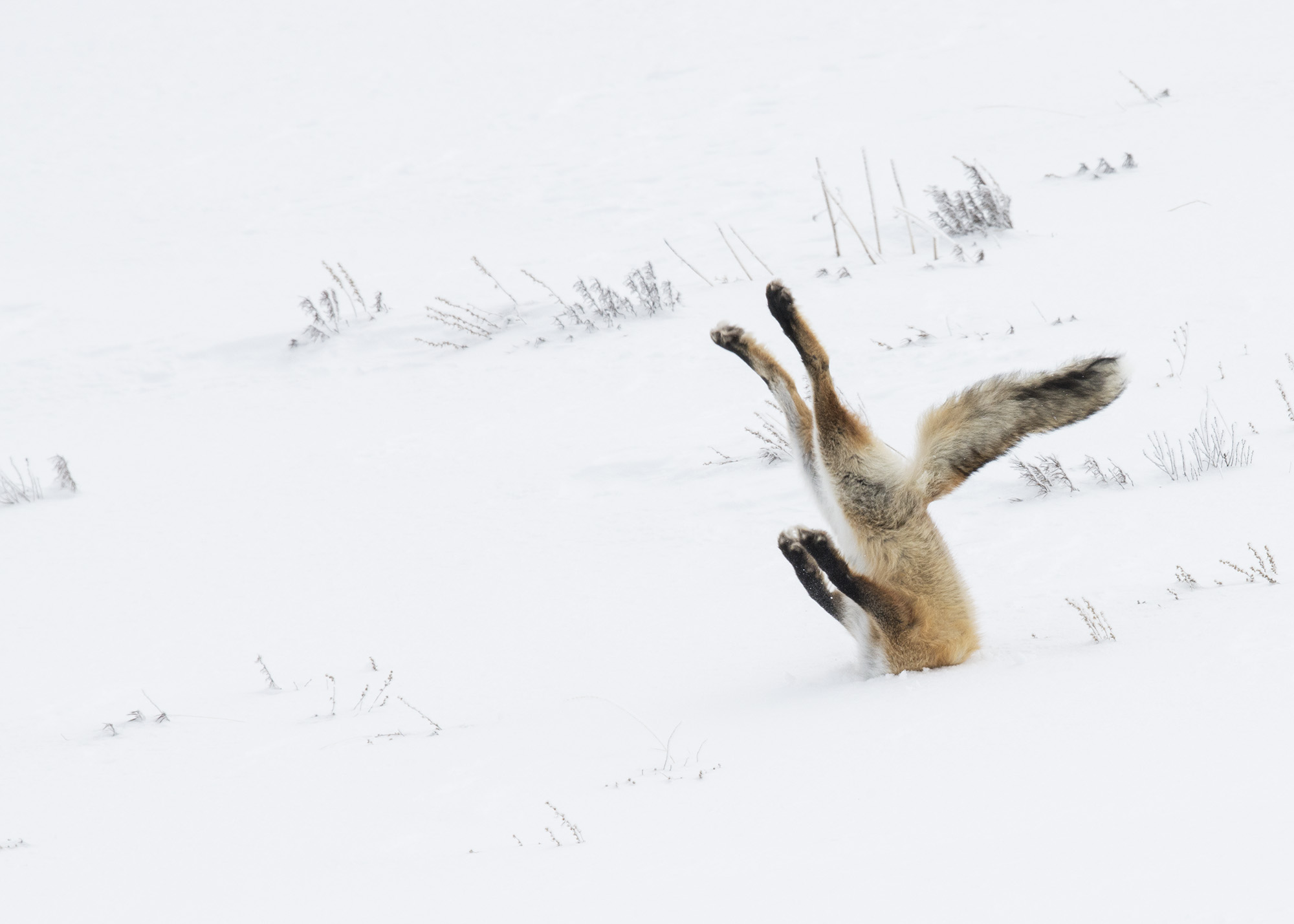 Overall winner and winner in the Land category: A fox dives into the snow in Yellowstone National Park. Photo by Angela Bohlke /The Comedy Wildlife Photography Awards.