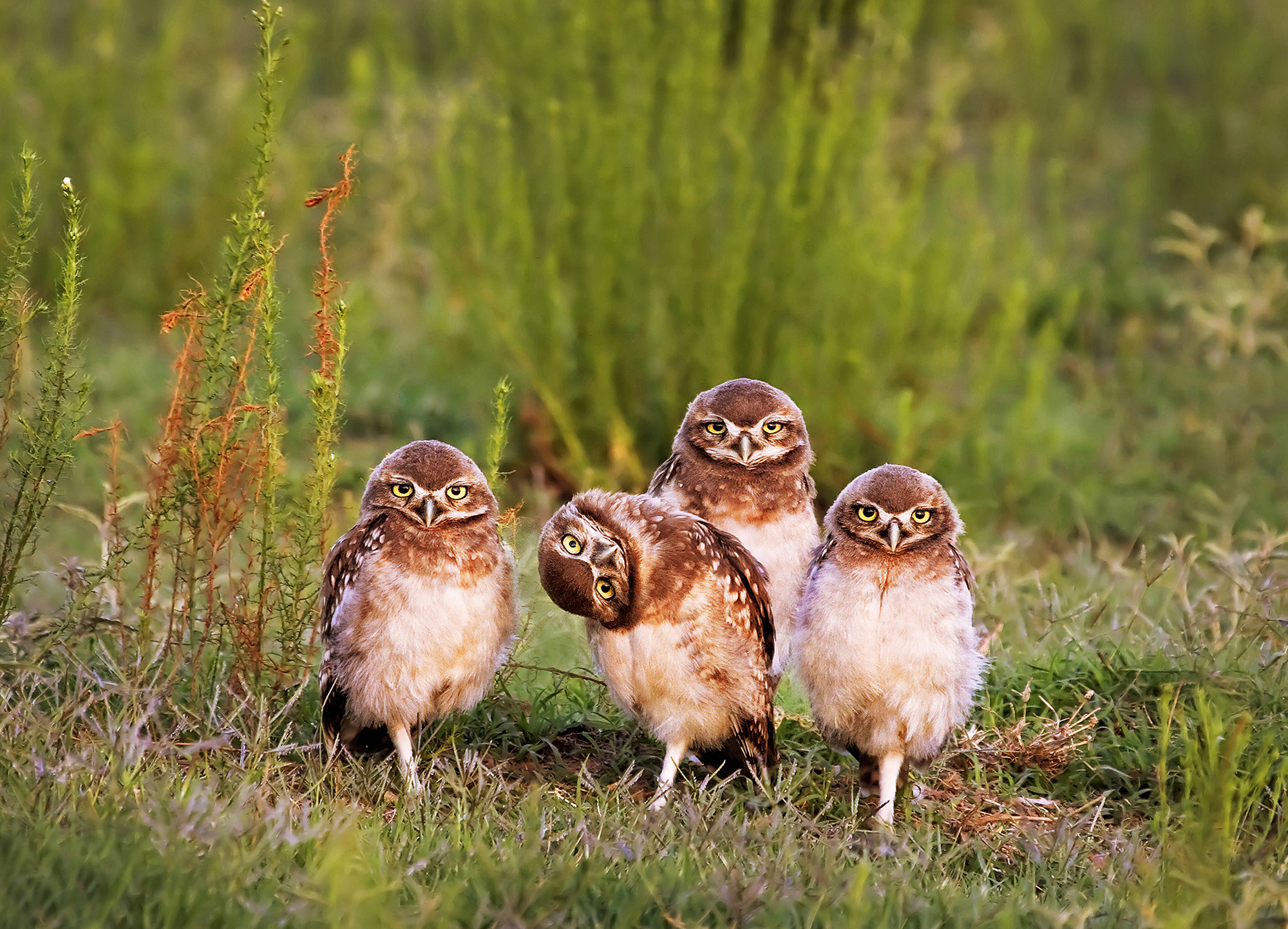 Burrowing owls near their cave in Santa Rosa, La Pampa, Argentina. Photo by Mario Gustavo Fiorucci/The Comedy Wildlife Photography Awards.