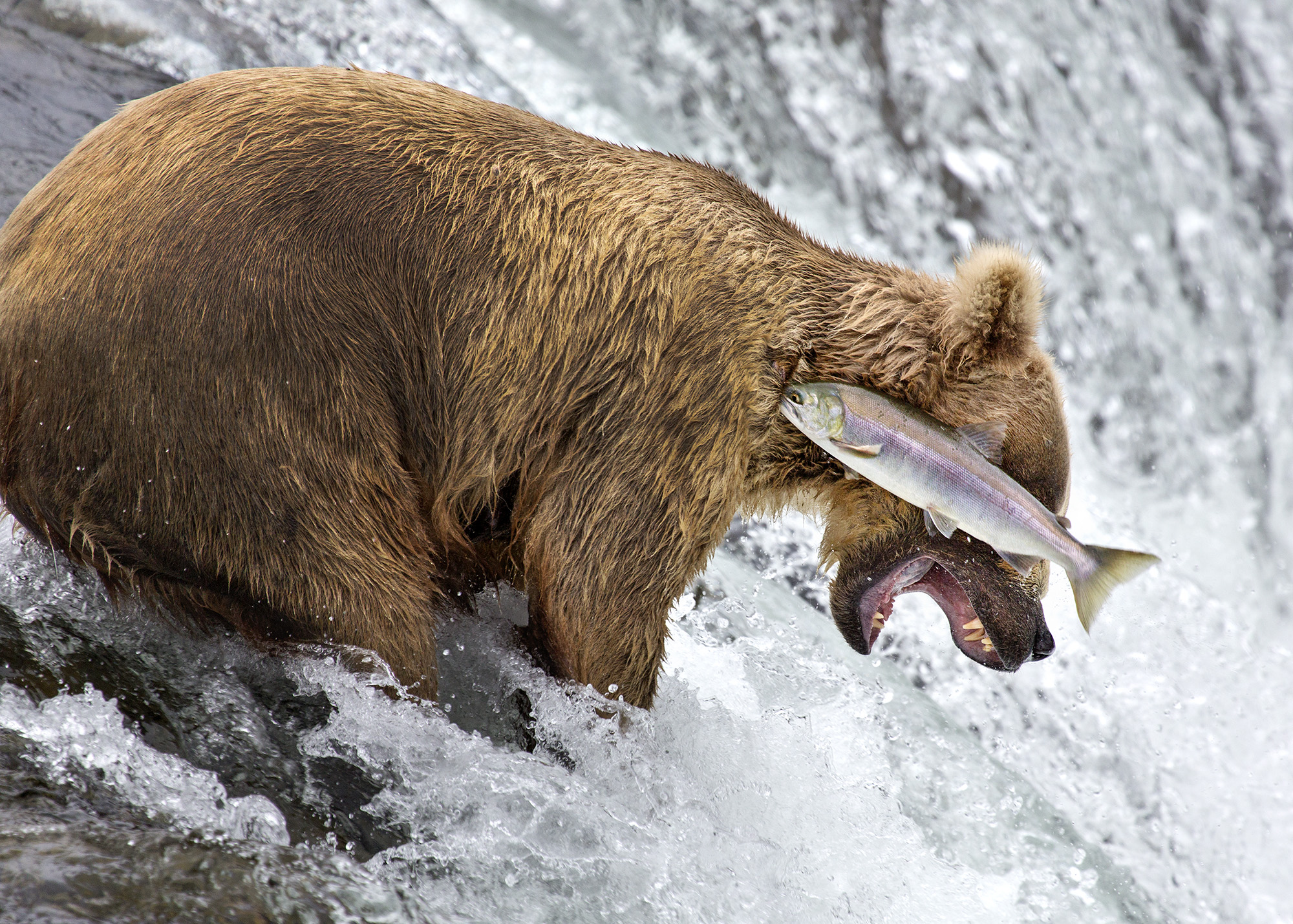 A grizzly bear does a bad job of catching a salmon at Brooks Falls in Katmai National Park, Alaska. Photo by Rob Kroenert /The Comedy Wildlife Photography Awards.