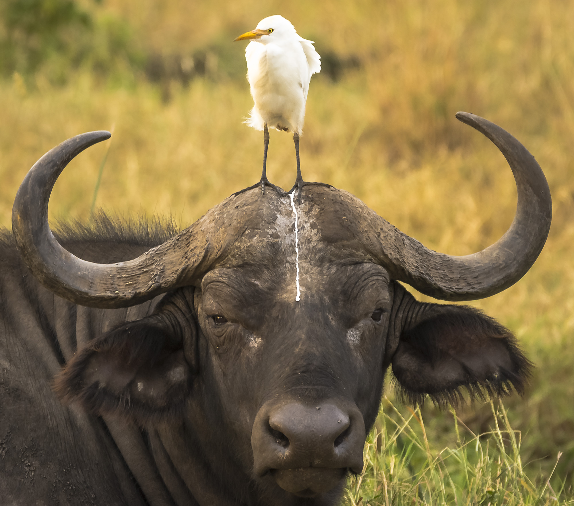 An unfortunate portrait of a cape buffalo and cattle egret in Meru National Park, Kenya. Photo by Tom Stables/The Comedy Wildlife Photography Awards.
