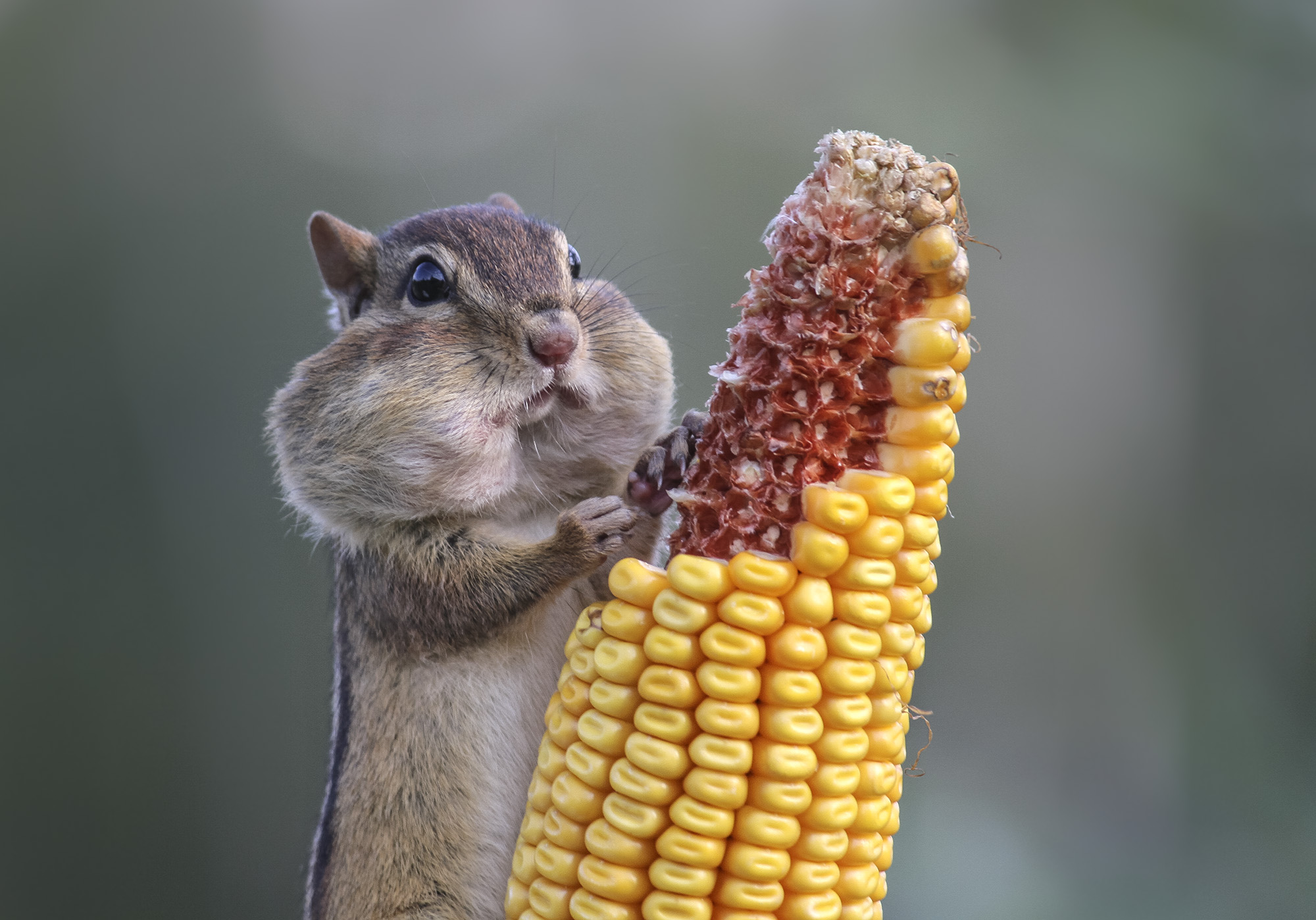 Image of: 2018 An Eastern Chipmunk In Ontario Canada Stuffing Its Cheeks With Corn Photo By Barb Pbs Photos These Wildlife Photography Winners Will Put Smile On Your