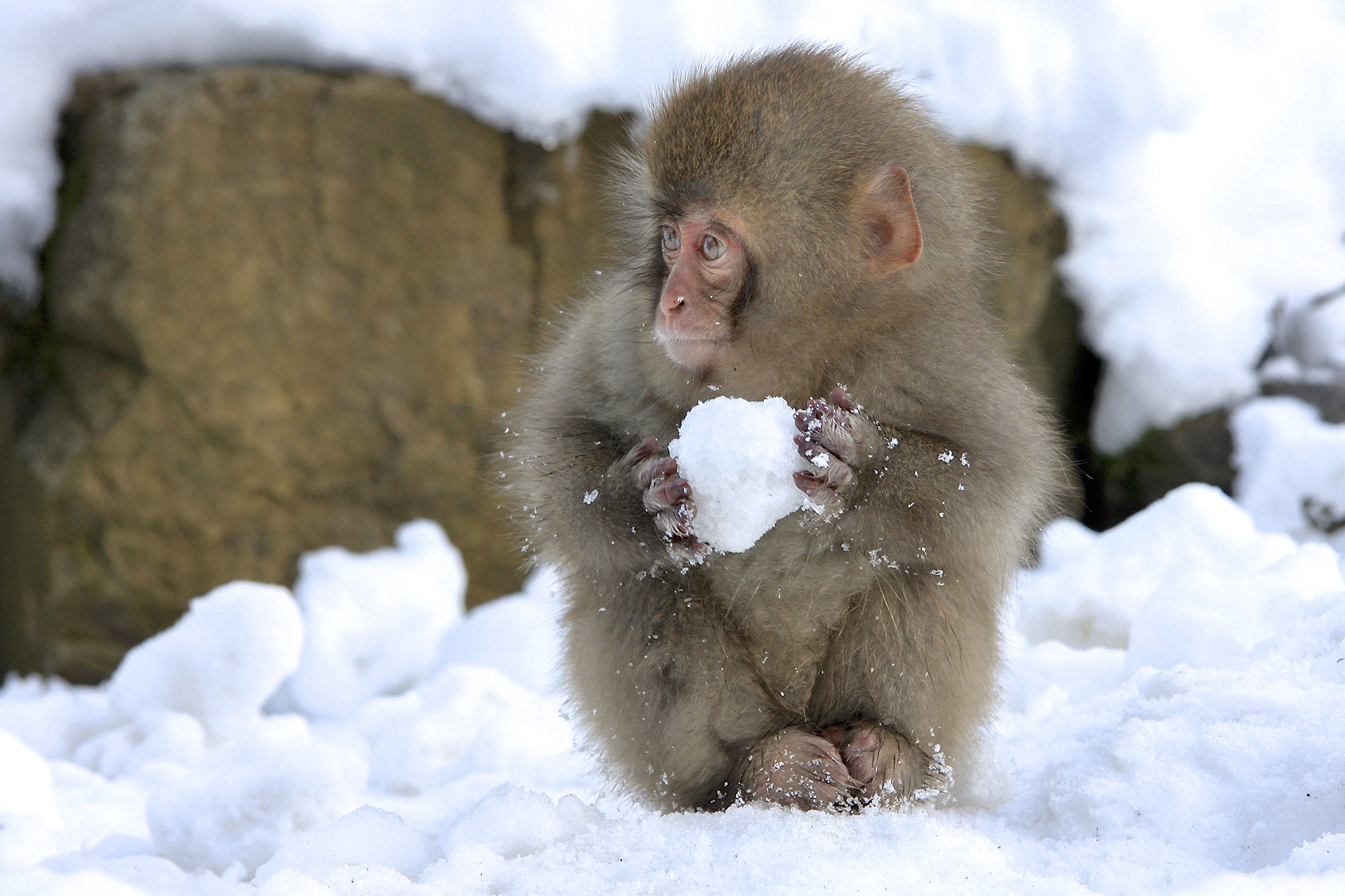 A young white snow monkey in Japan appears to make a snowball.Photo by Nicolas de Vaulx/The Comedy Wildlife Photography Awards.