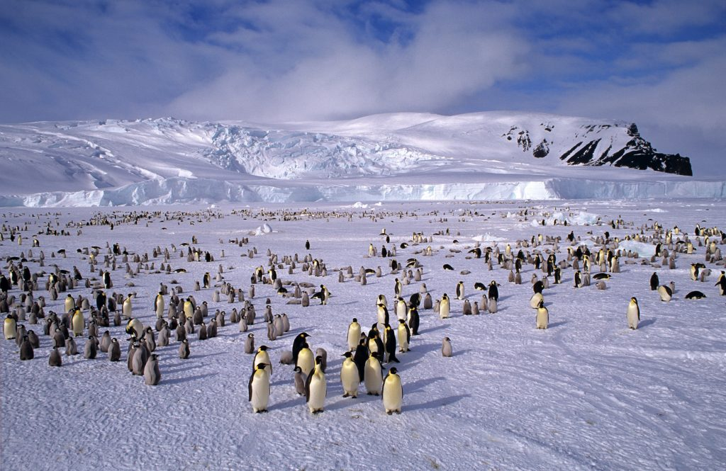 Emperor penguins gathered in the Ross Sea in Antarctica. Photo by Auscape/Getty Images