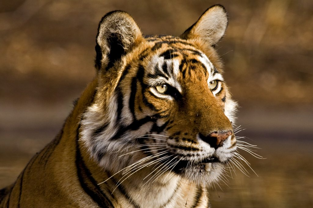 A tiger photographed in Ranthambore National Park in Rajashthan, India. Photo by Aditya Singh/Getty Images)