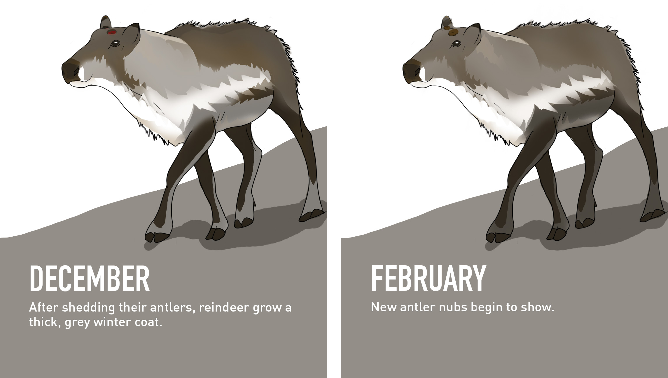 Male Reindeer's transformation from December to February.
