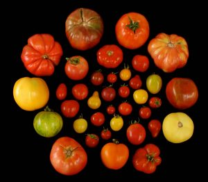Numerous genes responsible for the flavor of tomatoes have been lost, as food producers selected the fruit for other qualities, such as size and firmness. Photo by Harry Klee, University of Florida