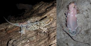 Geckolepis megalepis with and without scales. Courtesy of Frank Glaw.