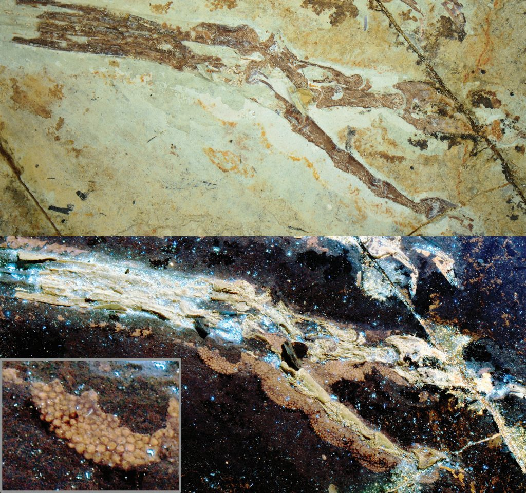 Top: An Anchiornis foot fossil under normal light. Bottom: Same foot under laser light. Inset: The scaly details of a single footpad are shown. The footpad scales are preserved, but only visible under laser-stimulated fluorescence. Photo by Wang XL, Pittman M et al., Nature Communications, 2017