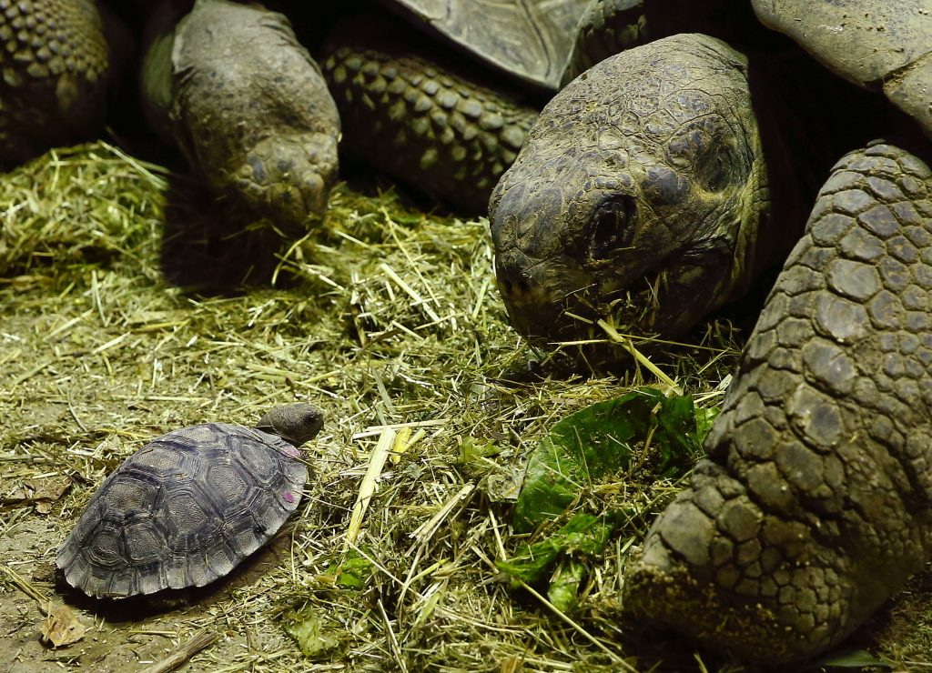 A young Galapagos giant tortoise (Chelonoidis nigra) is seen together with its mother Nigrita (back) and father Jumbo (R) at an enclosure at the zoo in Zurich in December 2014. Photo by Arnd Wiegmann/Reuters
