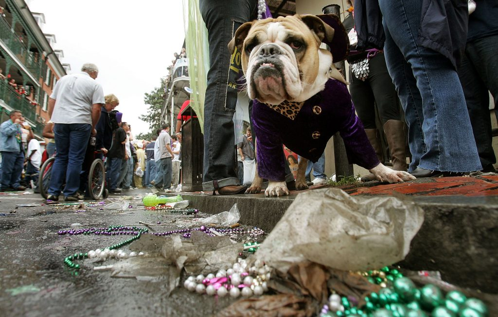 A bulldog stands by discarded beads during Mardi Gras festivities February 8, 2005 in New Orleans, Louisiana. Photo by Mario Tama/Getty Images