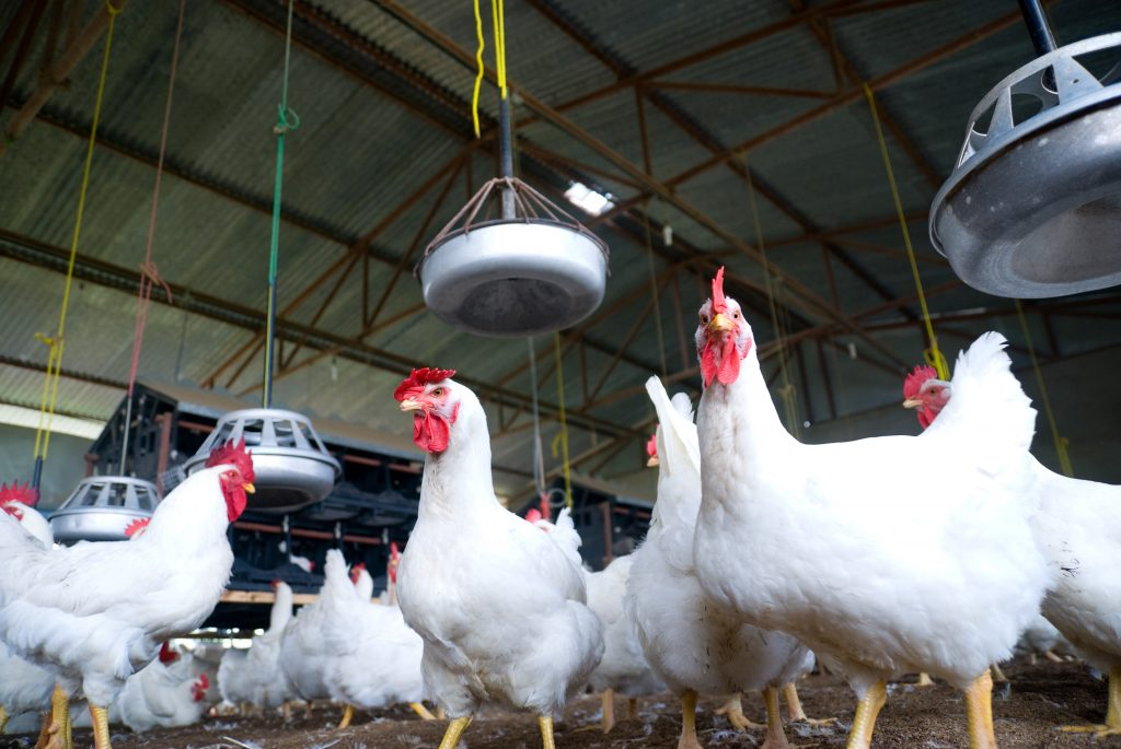 Could lab-grown chicken meat replace the poultry farm? Photo by Getty Images