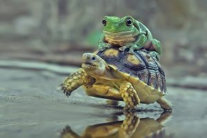 An Australian Green Tree frog sits on top of a sulcata tortoise walking by a reflective puddle.