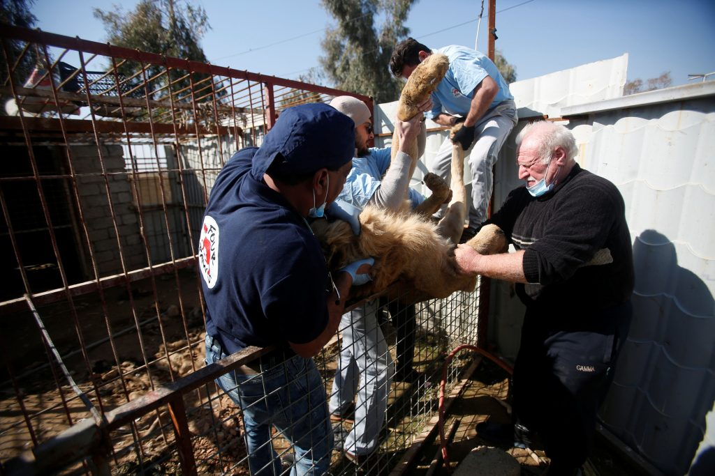 The veterinary team cleaned the two animals' cages, fed them and provided first aid, including treating their rotted teeth. Photo by Khalid al Mousily/Reuters