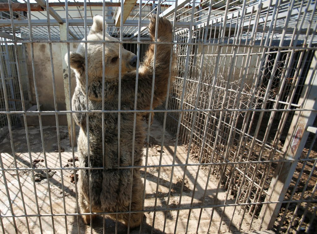 The cages housing Lula and Simba were too small and dirty for the team to work. Photo by Khalid al Mousily/Reuters