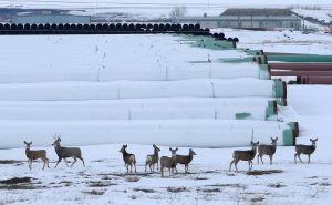 Deer gather at a depot used to store pipes for Transcanada Corp's planned Keystone XL oil pipeline in Gascoyne, North Dakota, on Jan. 25. Photo by Terray Sylvester/Reuters