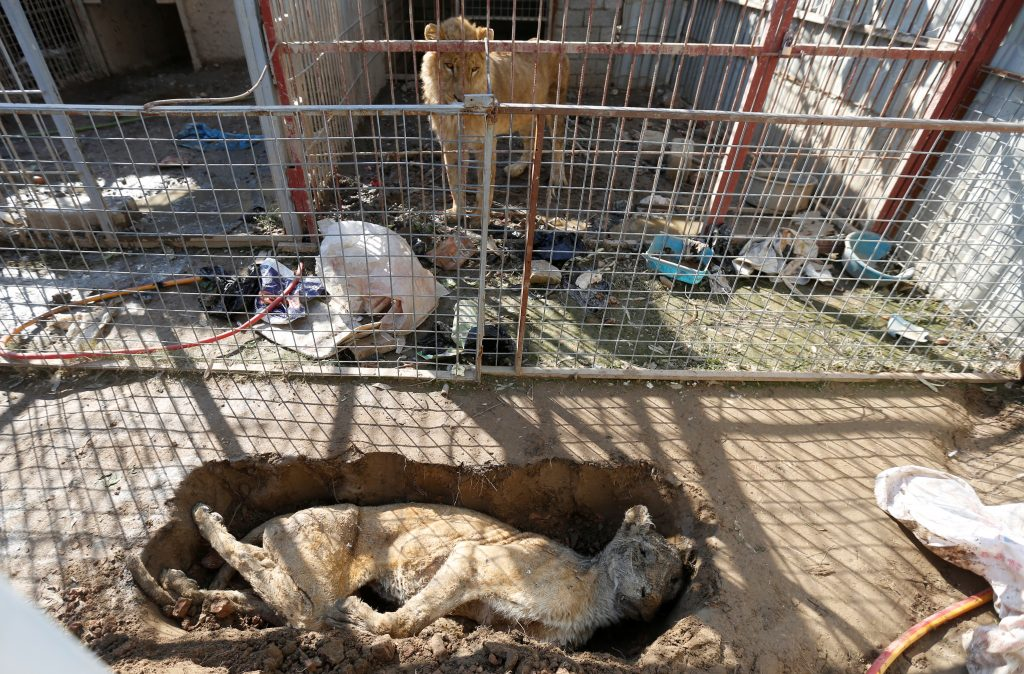 The local residents buried a lioness, who died of starvation, in front of Simba's cage. Photo by Muhammad Hamed/Reuters
