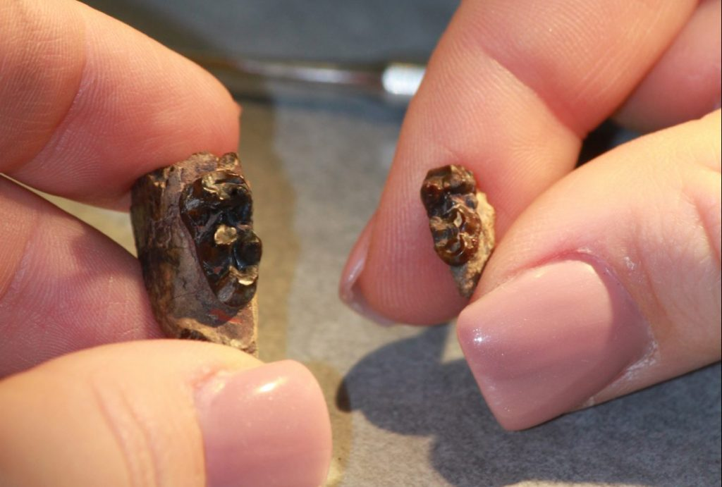 An Arenahippus tooth specimen from a time period midway through the Eocene Thermal Maximum 2 (left) and an Arenahippus tooth specimen that originated outside the Eocene Thermal Maximum 2. Photo by Grace Delgado