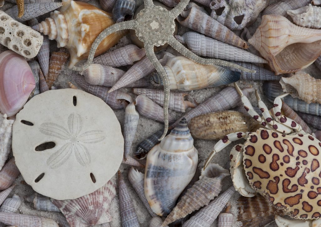 All the marine organisms in this picture produce calcium carbonate to harden their shells or exoskeletons. Pictured: brittle star, calico box crab, sand dollar, stony coral, conch, whelk, augers (many), olive, scallop and barnacle. Photo by Ed Reschke/Getty Images