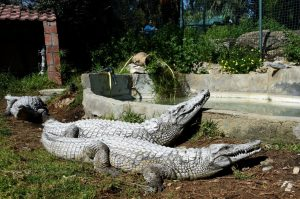 A picture taken on March 2, 2017 shows two crocodiles taking a sun bath at the Park Belvedere in the capital Tunis. A group of visitors at the Tunisian zoo had stoned a crocodile to death on March 1, 2017.  Photo by AFP PHOTO / FETHI BELAID.
