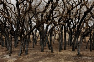 Scorched trees stand above pasture burned by wildfires near Higgins, Texas. Photo by REUTERS/Lucas Jackson.
