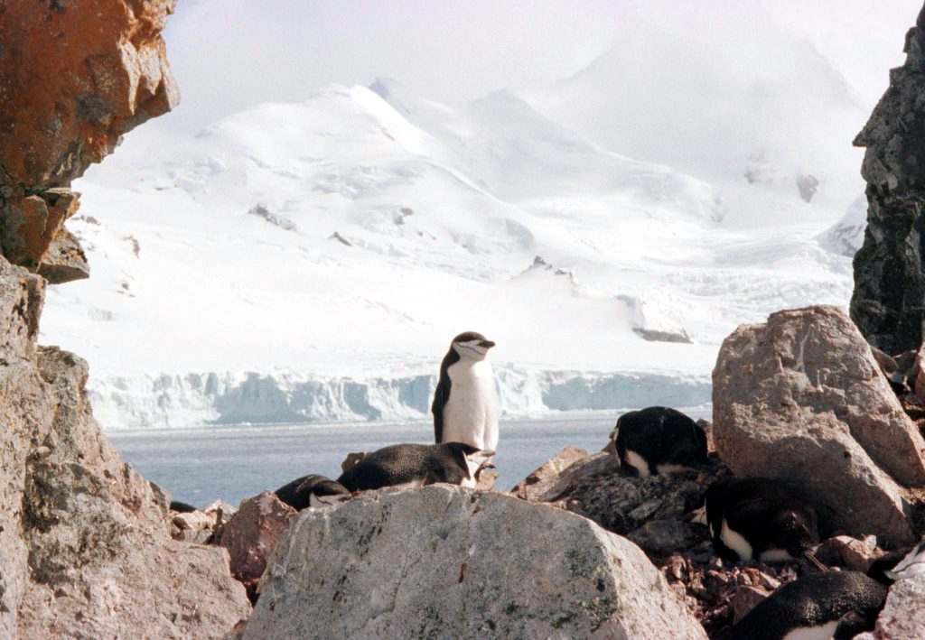 A chinstrap penguin on Half Moon Island in the South Shetlands, off the Antarctic peninsula. Photo by Reuters