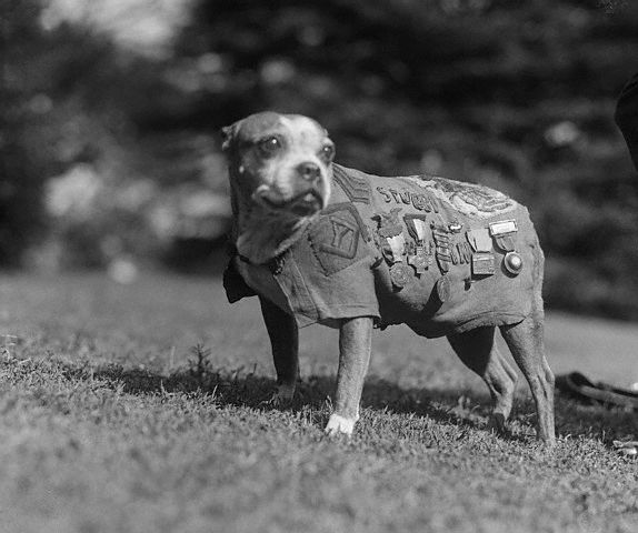 Sergeant Stubby, the most decorated war dog of World War I, visited the White House and President Calvin Coolidge in November 1924. Image courtesy of Wikimedia Commons
