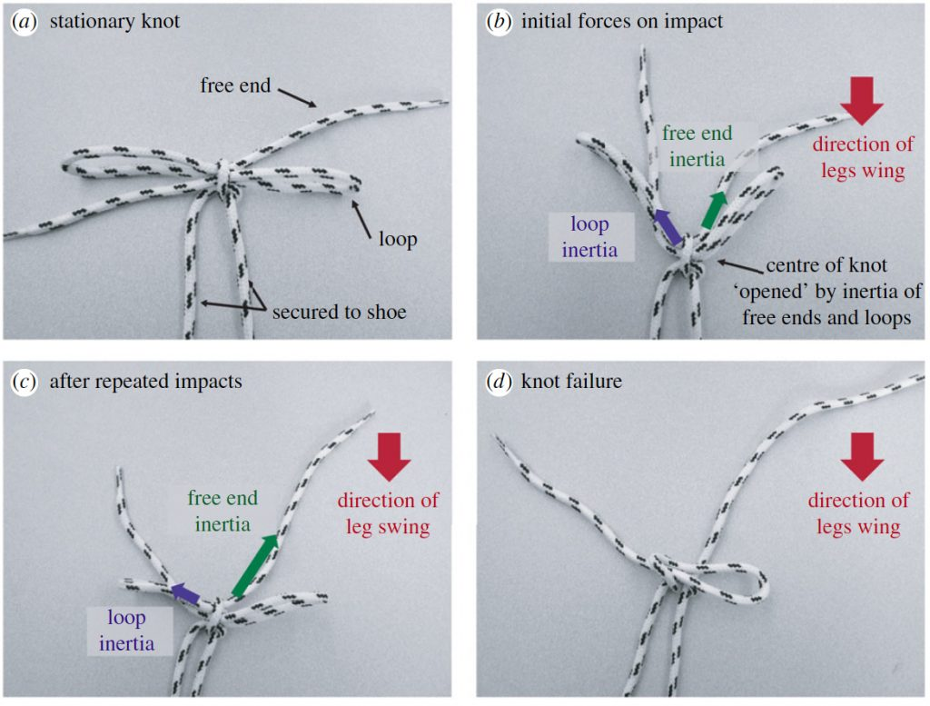 As the leg is swung backwards to impact the ground, the inertia of the free ends and loops pull open the center of the knot. If the free end and loops are approximately the same length, these forces will be comparable. If the knot center is tightened, frictional forces will somewhat ameliorate the inertial force imbalance. Repeated impact causes the center of the knot to incrementally loosen which reduces frictional effects and magnifies the effects of the inertial imbalance between the free ends and loops. Image and caption courtesy of Daily-Diamond CA, Gregg CE, O'Reilly OM., Proc. R. Soc. A, 2017