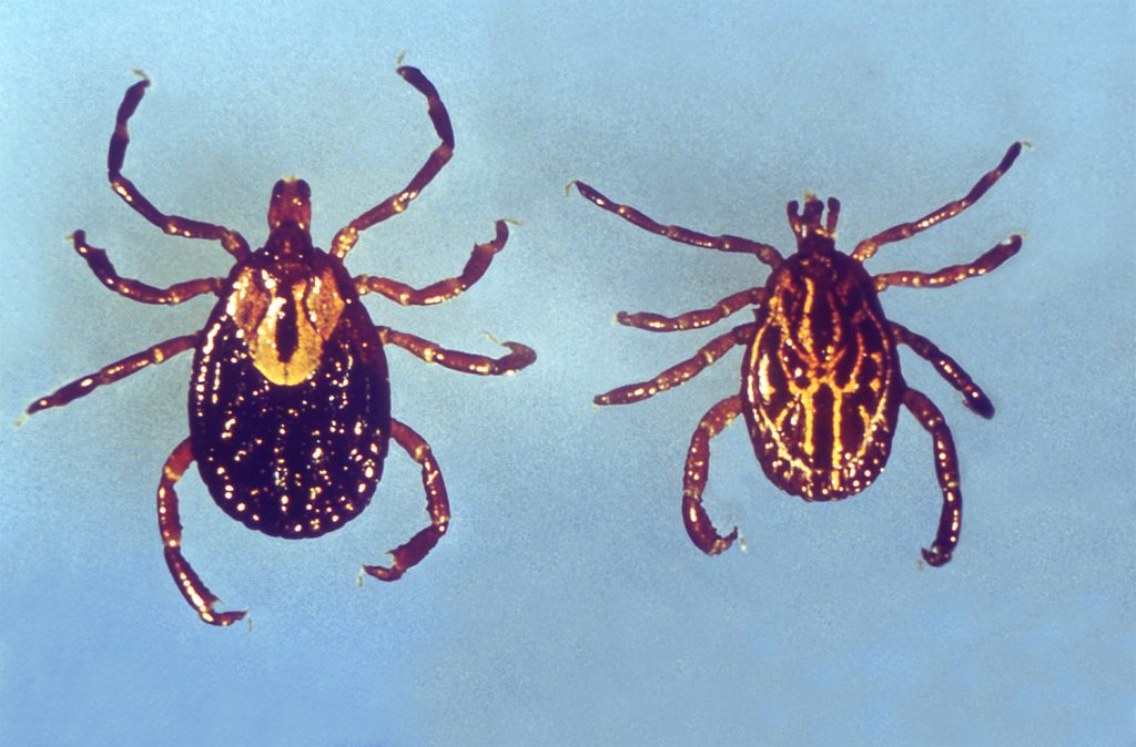 Distinguishing features of the North American Ixodidae family of hard ticks includes their mouthparts, which are visible from the dorsal view, for they are situated anteriorly on the tick's body, and protrude forward from beneath the scutum. Photo by CDC