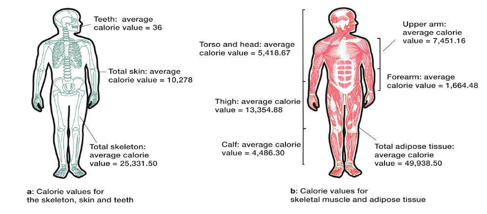 The calorific values of the skeleton, skin, teeth, skeletal muscle and adipose tissue. Illustration via James Cole/Scientific Reports