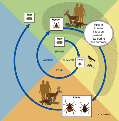 Life cycle of ticks. Illustration by CDC