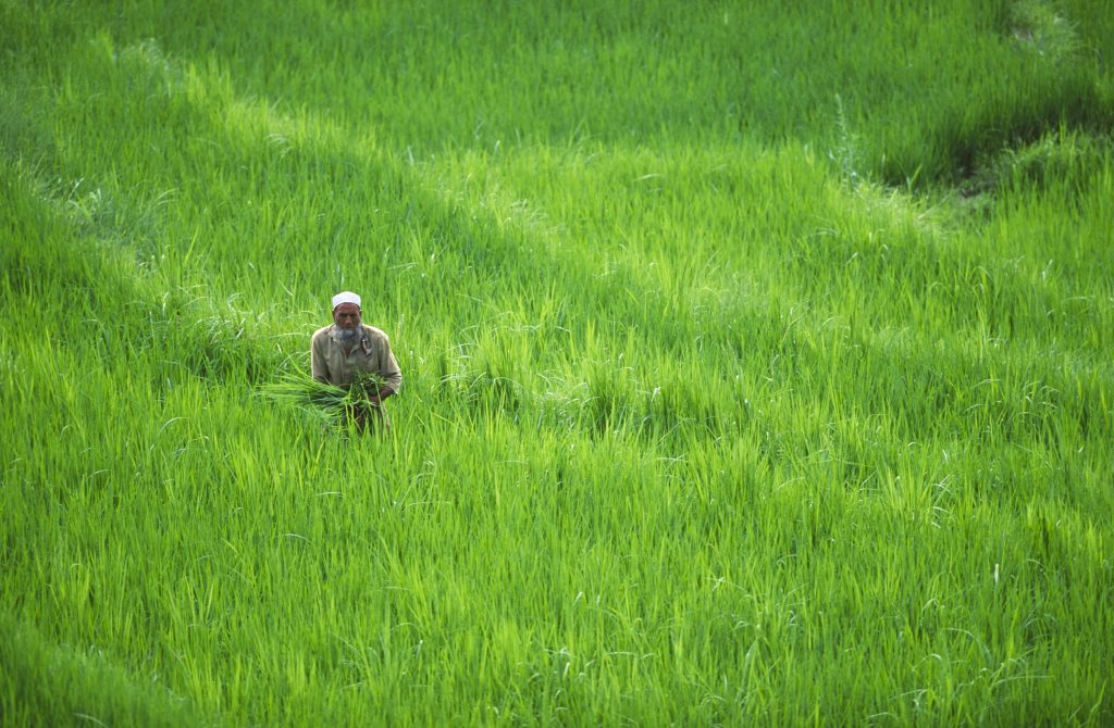 Man in rice paddies in Pakistan. Photo by Mike Powles/via Getty Images