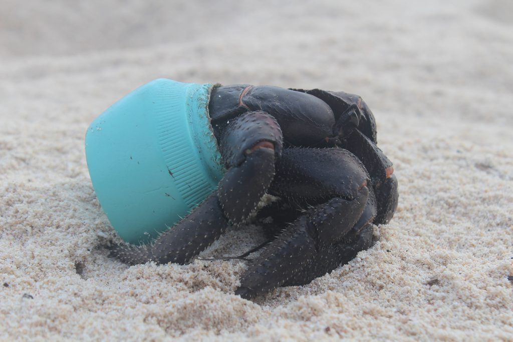 One of many hundreds of crabs that now make their homes out of plastic debris washed up on Henderson Island, this particular item is an Avon cosmetics jar. Photo by Jennifer Lavers