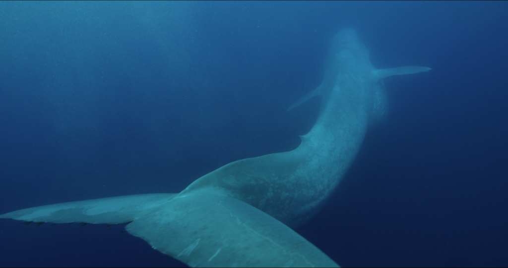 A blue whale,the largest vertebrate animal ever in the history of life, engulfs krill off the coast of California. Photo By Silverback Films/BBC
