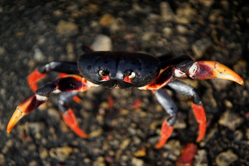 The black, yellow and red crabs make the annual pilgrimage in the spring. Photo by Alexandre Meneghini/Reuters