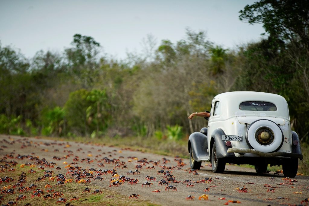 A man driving a vintage car passes by crabs crossing a highway in Playa Giron, Cuba, on April 21. Photo by Alexandre Meneghini/Reuters