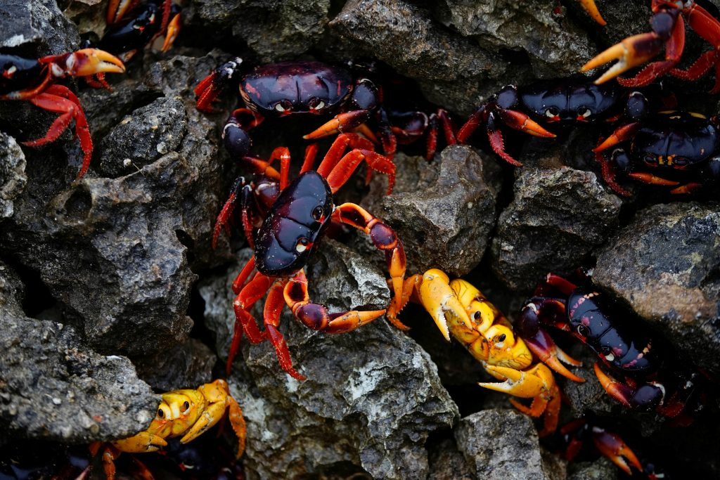 The crabs are looking for a safe place to spawn. Photo by Alexandre Meneghini/Reuters