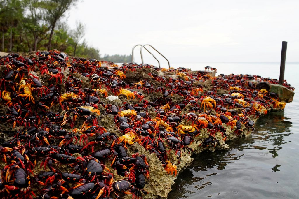 Crabs travel from surrounding forests to the Caribbean Sea. Photo by Alexandre Meneghini/Reuters