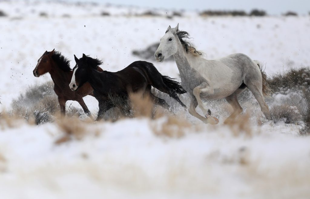 Wild horses attempt to escape being herded into corrals by a helicopter during a Bureau of Land Management round-up outsid...