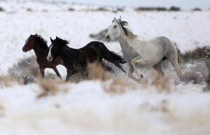 "Wild horses attempt to escape being herded into corrals by a helicopter during a Bureau of Land Management round-up outside Milford, Utah, U.S., January 8, 2017. REUTERS/Jim Urquhart SEARCH ""WILD HORSE"" FOR THIS STORY. SEARCH ""WIDER IMAGE"" FOR ALL STORIES. - RTX2YH9Y"