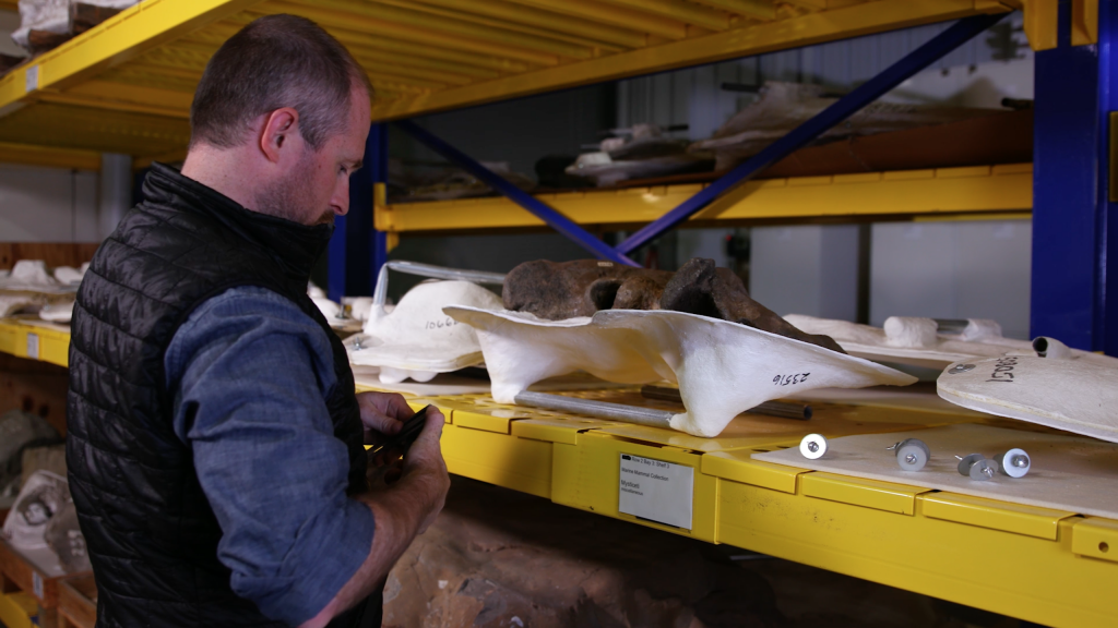 Nicholas Pyenson, curator of fossil marine mammals at the Smithsonian's National Museum of Natural History, measures and collects data from the Smithsonian's modern and fossil whale collections. Photo by Smithsonian