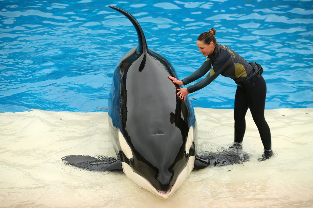 SeaWorld unveils its new Orca Encounter show in San Diego, California, in May. Photo by Mike Blake/Reuters