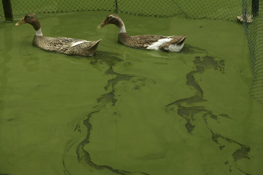 Ducks swim in the algae-filled Taihu Lake in Huzhou, Zhejiang province April 16, 2008. The State Council has set a target of 2012 for purifying China's third-largest freshwater lake, the Taihu Lake. Photo by REUTERS/Stringer