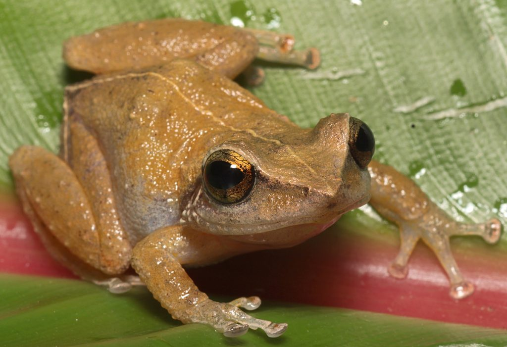 The coqui frog may look innocent, and even sound sweet to some, but its brief history in Hawaii tells a tragic story of how delayed action can have devastating consequences for biodiversity and human well-being. Photo by California Department of Fish and Wildlife